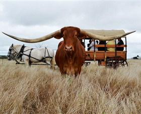 Texas Longhorn Wagon Tours and Safaris - Accommodation Ballina