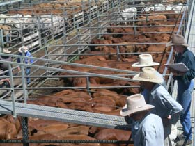 Dalrymple Sales Yards - Cattle Sales - Accommodation Ballina