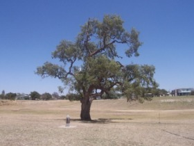 Historic Coolabah Tree - Accommodation Ballina