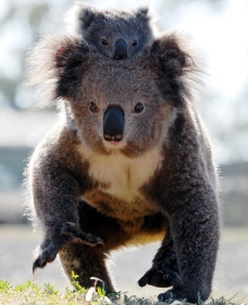 Koalas in Gunnedah - Accommodation Ballina