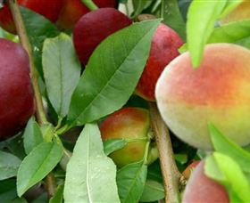 Fruit Salad Tree Company - Accommodation Ballina