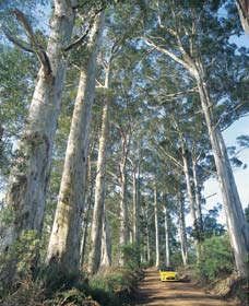 The Great Forest Trees Drive - Accommodation Ballina