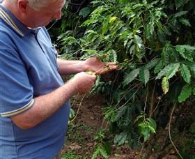 Wombah Coffee Plantation - Accommodation Ballina