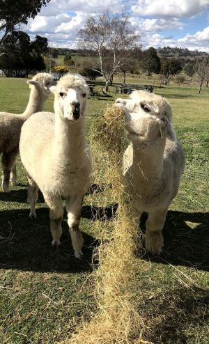 Clearview Alpacas - Accommodation Ballina
