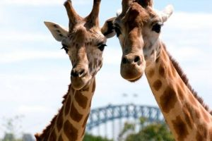 Sydney Harbour Ferry with Taronga Zoo Entry Ticket - Accommodation Ballina