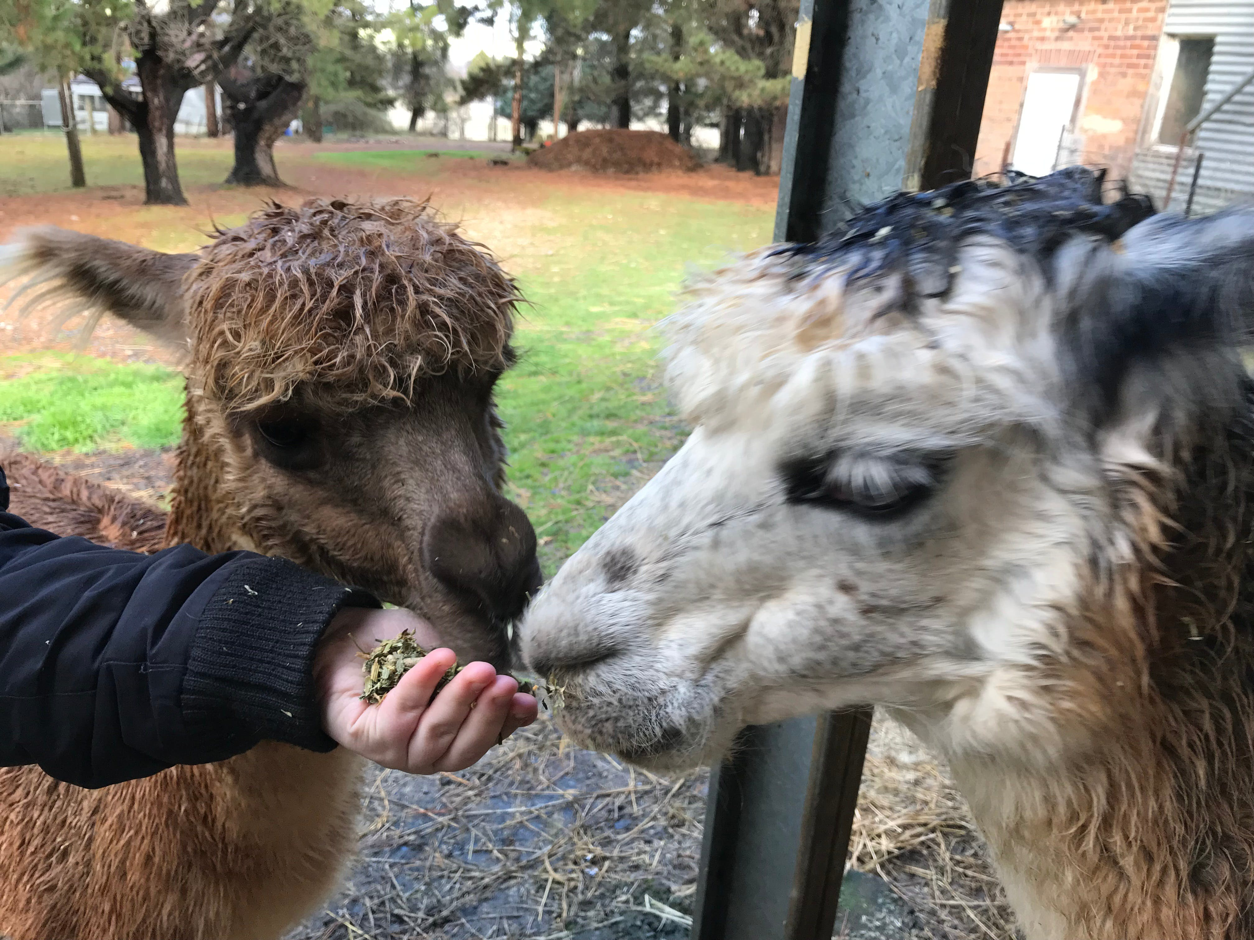 Alpaca Farm Experience at Crookwell - Accommodation Ballina