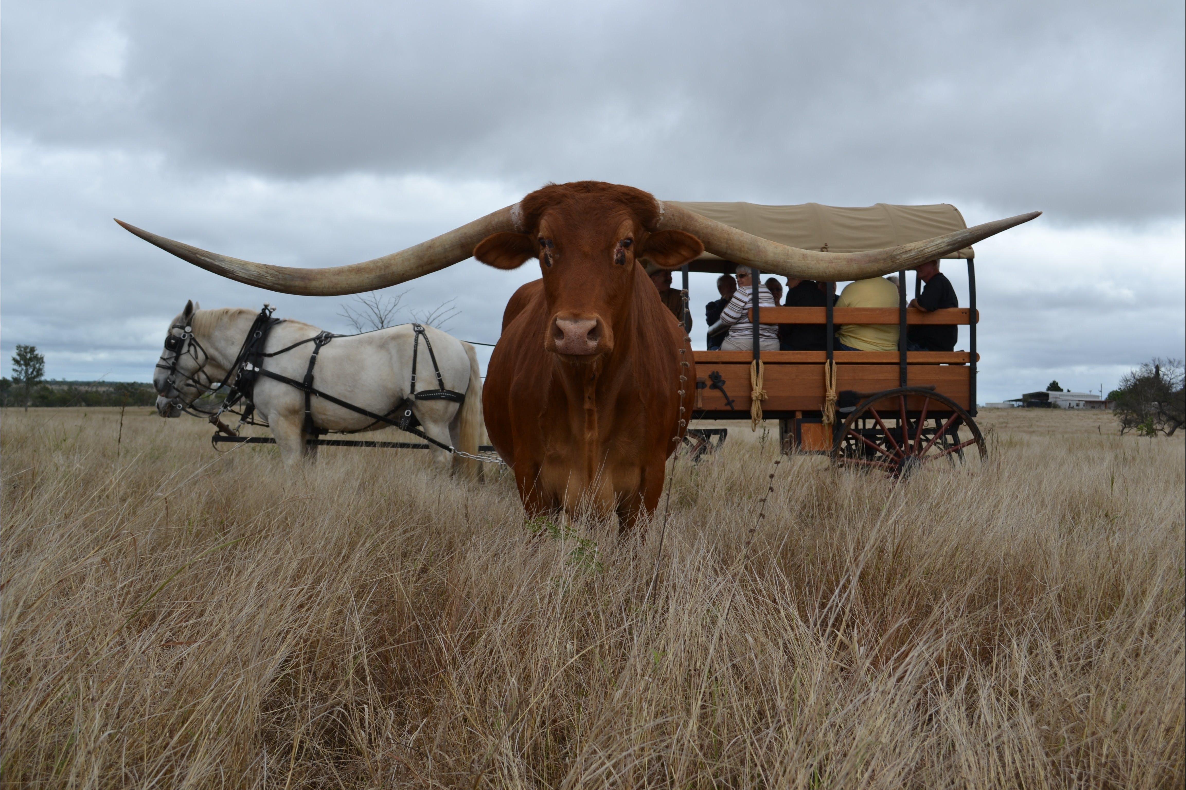Texas Longhorn Tours - Accommodation Ballina