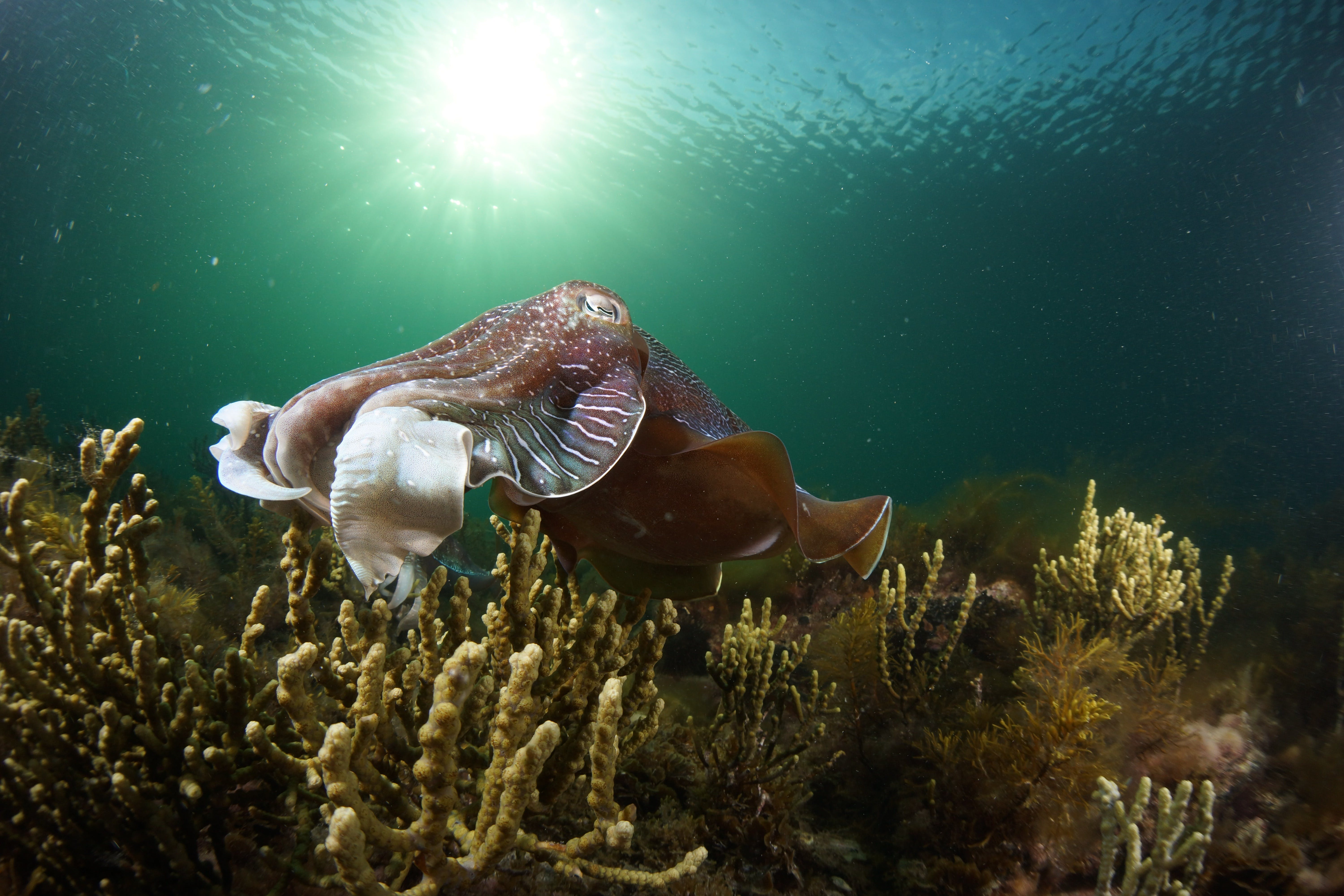 Cuttlefish Diving  Snorkeling EVERYDAY May -August - Accommodation Ballina